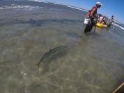 Gerry the massive kingfish